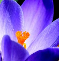 Shining Blue Crocus