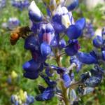 """Bee in my Bluebonnet"" by elledeegee"
