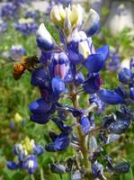 Bee in my Bluebonnet
