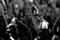 Milk Vetch 2BW