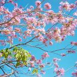 """Cherry Blossom by Ramiro Puentes"" by Lamp_ArtProject"