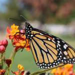 """Monarch"" by BridgetBphotography"