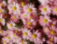 Soft Pink Daisies