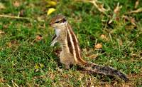 IndianChipmunk