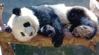 Nap time for Panda Bear