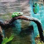 """Green tree frogs"" by 1kelton"