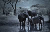 Infrared Image of Elephants at Waterhole, Tarangir