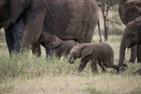 Elephant Baby and Herd