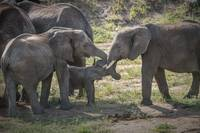 Elephant Family Interaction