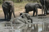 Baby Elephant in Mud Hole