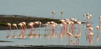 Flamingos Crowd the Shores of Lake Ndutu