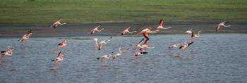 Flamingos in Flight, Ndutu