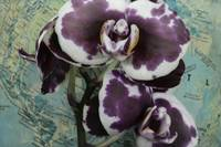 Phalaenopsis Orchid Around the World