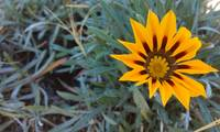 Lonely Gazania Flower II