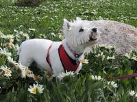 The World Of Daisies - West Highland White Terrier