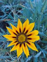 Lonely Gazania Flower