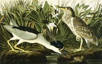 Night Heron or Lua Bird