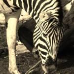 """Zebra"" by gallerymay"