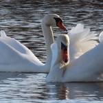 """""""swan couple"""" by gallerymay"""
