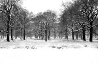 Oaks in snow