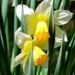 """""""Daffodil Hug"""" by foxvox"""