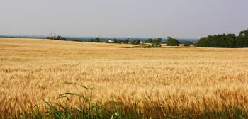 Oklahoma Wheat Field