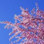 """Tree Blossoms Art Prints Spring Pink Flowers Blue"" by BasleeTroutman"