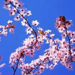 """Pink Tree Blossoms Art Prints Blue Sky Floral"" by BasleeTroutman"