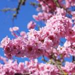"""Tree Blossoms Pink Spring Trees Art Prints"" by BasleeTroutman"