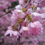 """Rain Drops Art Prints Pink Spring Tree Blossoms"" by BasleeTroutman"