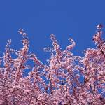 """Blue Sky Art Prints Pink Spring Tree Blossoms"" by BasleeTroutman"