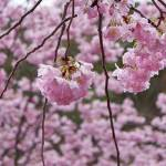 """Tree Blossoms Hanging Spring Pink Flowers Prints"" by BasleeTroutman"