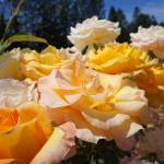 """Roses Garden Art Prints Yellow Orange Rose Flowers"" by BasleeTroutman"