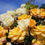 """Roses Garden Bouquet Yellow Orange Rose Flowers Ar"" by BasleeTroutman"