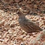 """Scaled Quail IMG_1210"" by rayjacque"
