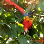 """Scarlet Macaw IMG_0923"" by rayjacque"