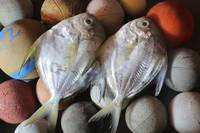 Pomfret Fish Couple