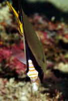 Butterflyfish Frontal