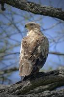 Young Tawny Eagle, Africa