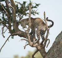 Leopard in Tree, Serengeti