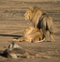 Lion Couple and Kill