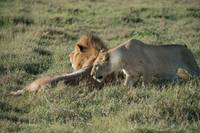 Lioness Courting a Male Lion