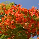 """Royal Poinciana"" by Hiwalani_Photography"