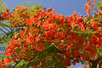 Royal Poinciana