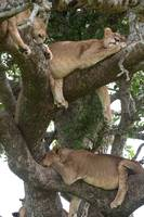 Sleeping Tree Lions