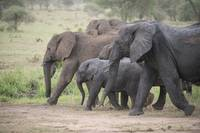 Elephant Family on the March