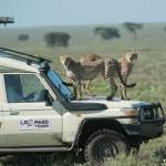 """twocheetahssafarivehicle"" by SederquistPhotography"