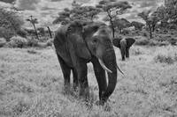 Two Elephants in Tarangire National Park