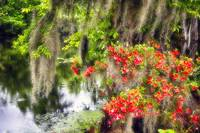 Spanish Moss and Azalea