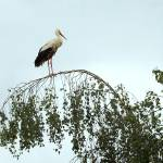 """stork in tree"" by gallerymay"